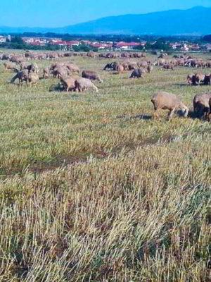 pelechras-pasture-sheeps