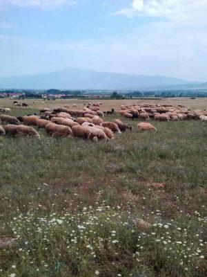 pelechras-pasture-sheeps-outdoor